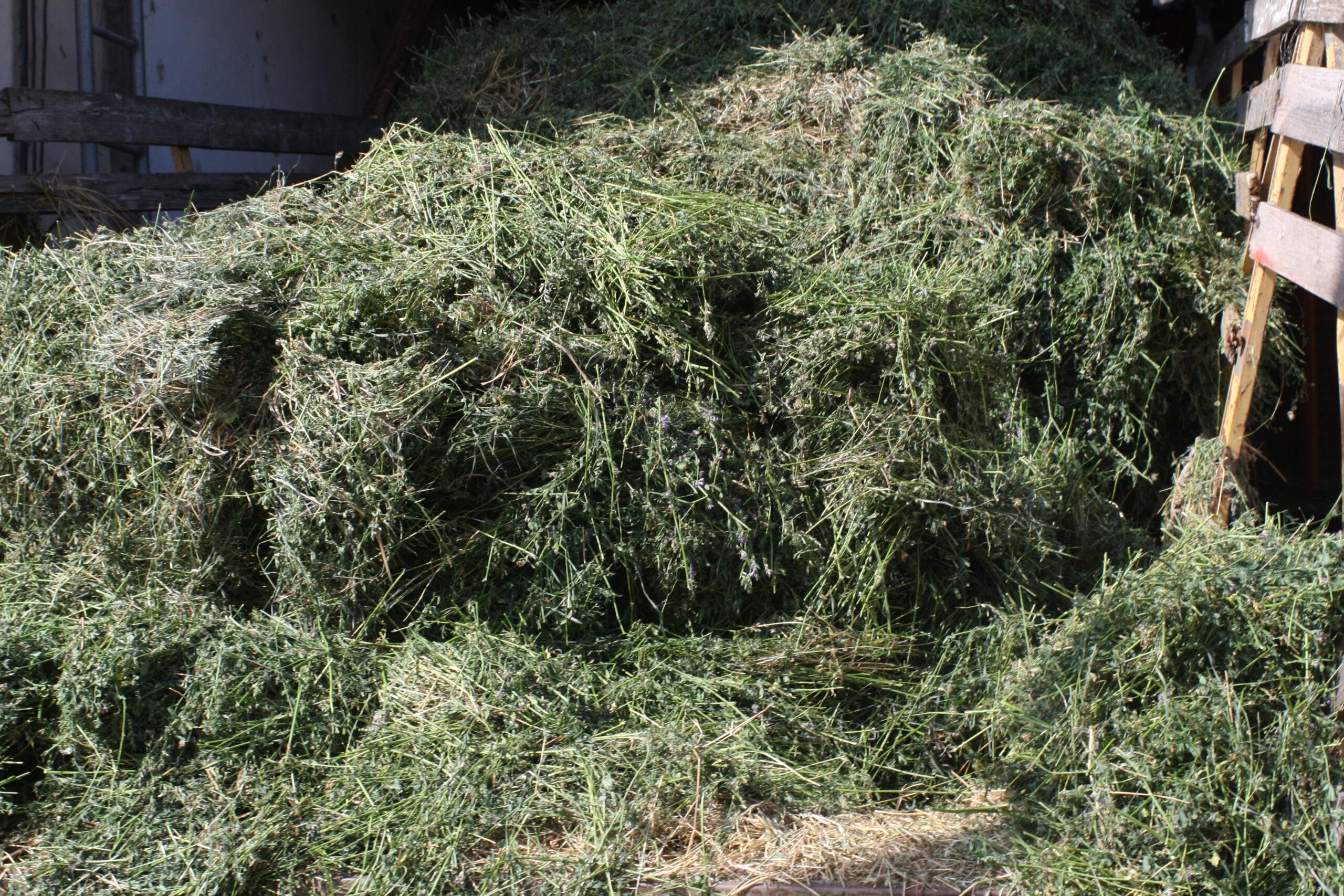 Il fieno viene raccolto per il 60% verde ed essiccato a ventilazione per farlo rimanere più proteico e digeribile